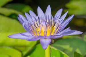 Purple lotus blooming in the garden