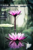 flor de lótus bonita na lagoa