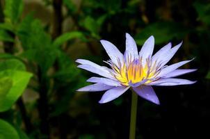 Blue lotus flower on the pond