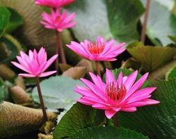 flor de lótus malva que floresce na lagoa.