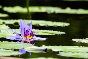 Marchitez púrpura loto o flor de nenúfar en el estanque