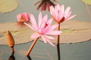 Red lotus in the pond at Kumphawapi, Udonthani, Thailand