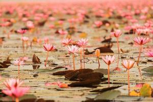 Loto rojo en el estanque de kumphawapi, udonthani, Tailandia