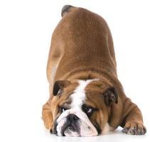 dog bowing