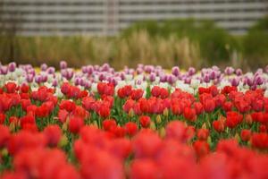 tulipán del lecho del río