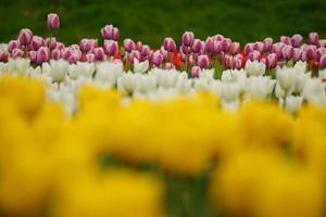 Riverbed tulip