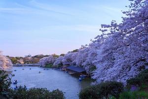flores de cerejeira em tokyo, japão