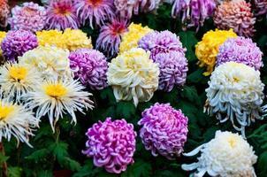 Autumn chrysanthemum photo