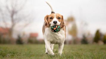 enseñarle a su perro a jugar a buscar - beagle foto