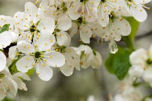 flores de ciruela foto