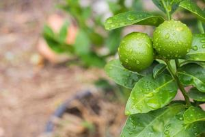 Lime with water on the surface of the lemon trees.