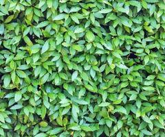 muchas hojas de laurel de fondo