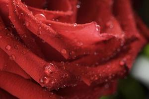 macro photo of dark red wet rose with water drops