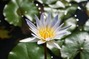 flor de lirio de kauai