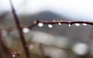 rama de rosa mojada