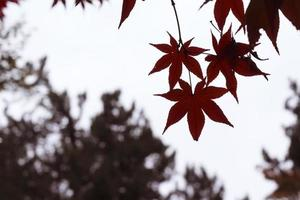 Autumnal leaves the autumn leaves photo