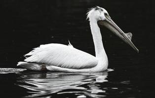 White pelican on water