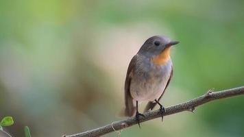 The bird Red-throated Flycatcher (Ficedula albicilla) eating a worm in tropical forests video