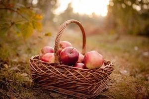 Fresh harvest of apples. Nature theme photo