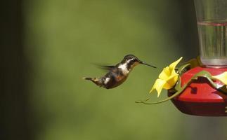 Hummingbird Feeding From a Feeder