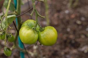 Fresh Green Tomatoes on a Vine