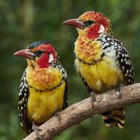 Couple of red and yellow barbet