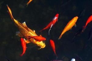 Koi Carps Fish Japanese swimming (Cyprinus carpio) beautiful