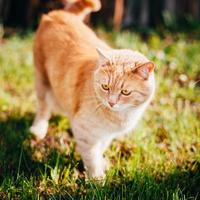 Red Cat Walking In Green Spring Grass In Garden photo