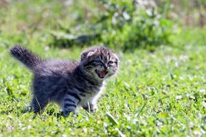 little lop-eared kitten photo