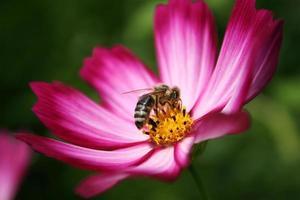 abeja en el jardín cosmos / cosmos bipinnatus