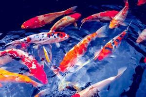 peces carpa koi foto
