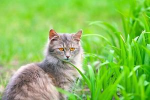 Gray siberian cat in the grass