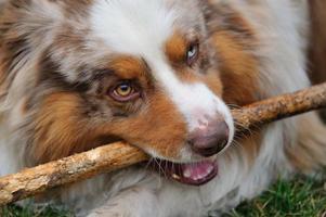 Australian Shepherd bitting stick