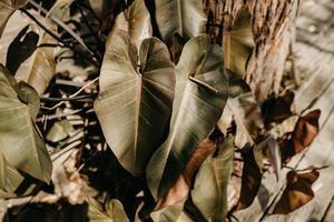 Green cordate leaves photo