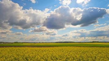 Blooming rapeseed field, panoramic time-lapse