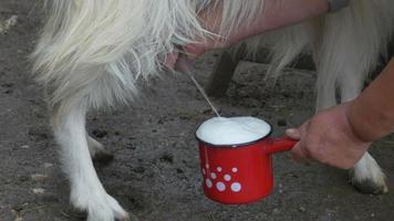 leche fresca de cabra video