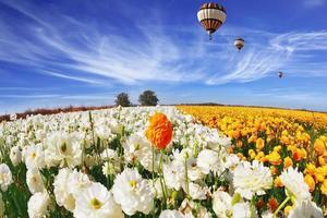 The field of buttercups (Ranunculus asiaticus) photo