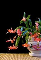 Colorful Christmas cactus.