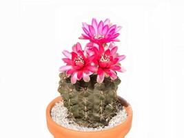 Cactus Gymnocalycium baldianum in pot, isolated, background white