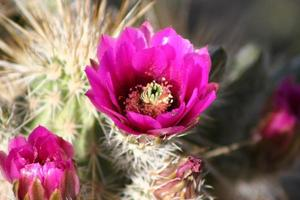 Blooming Engelmann's Hedgehog Cactus