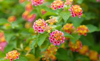 Colorful flowers of common lantana photo
