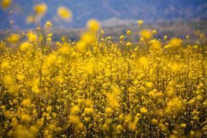 campo de flores de mostarda selvagem, ilha de santa cruz, califórnia