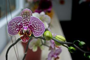 orquídea rosa mixta