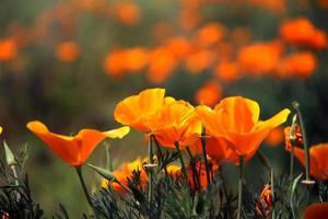 amapola california flor de naranja