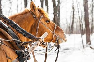 Portrait of horse in winter landscape