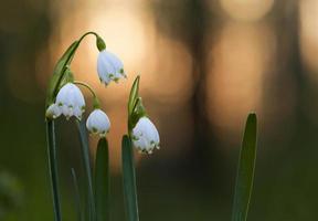 Snowflake flowers photo