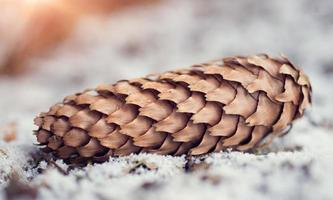 Conifer cones in snow closeup