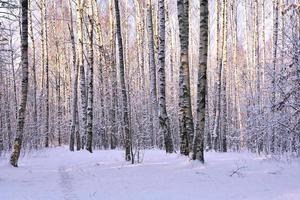Birch trees in winter park