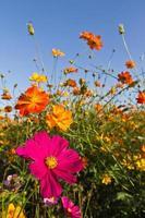 jardín de flores cosmos