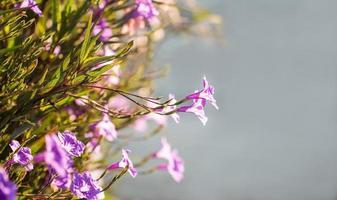 selective focus of  ruellias flower in garden with sunlight